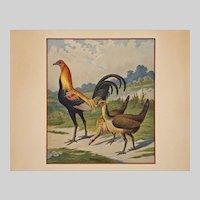 Ornithological Gold Neck Phoenix Cock / Goldhalsiger-Phönixhahn Chromolithograph Print Framed - Hamburg, Germany