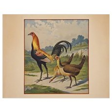 Ornithological Gold Neck Phoenix Cock / Goldhalsiger-Phönixhahn Chromolithograph Print Framed - Hamburg, Germany