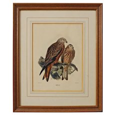 Hawk Mintern Bros. after J. Keulemans Common Kite, Milvus Ictinus England Ornithological Lithograph