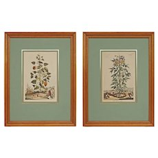 Pair Abraham Munting Botanical Engravings Framed - circa 18th Century, Netherlands