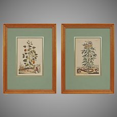 Pair Abraham Munting Botanical Engravings Framed - circa 18th Century, Netherlands