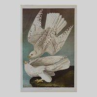 Icelander or Jer Falcon Plate 19 After Audubon and Bien Print