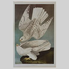 Icelander or Jer Falcon Plate 19 After Audubon and Bien Print