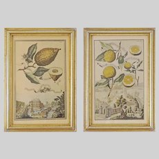 Set 4 Botanical Engravings Citrics Borghese after Volckamer Framed