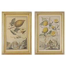 Set 4 Botanical Engravings Citrics Borghese after Volckamer Framed