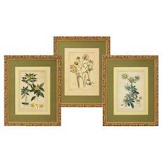Set 3 English 18th C. Botanicals Miller Lancake Matted Framed Antique - 18th C., England