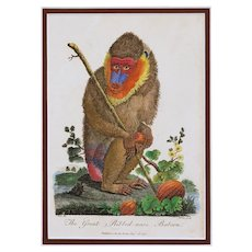 Baboon Antique English Engraving Matted Framed Hand Colored Monkey Print - c. 18th C. England