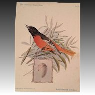 The American Singer Series No. 2  Baltimore Oriole