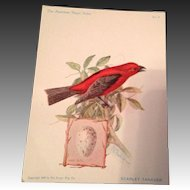 The American Singer Series No 3 Scarlet Tanager