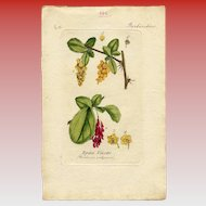Lithographic Botanical Print of Barberry Shrub Flower and Fruit from Antique French Book