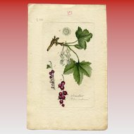 Lithographic Botanical Print of Red Currants from Antique French Book