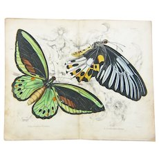 Original Hand Colored Butterfly/Moth  Print from The Naturalist's Library, Ca. 1830-1840