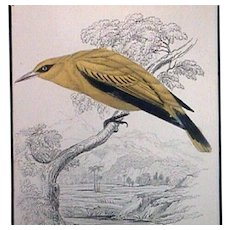 Hand Colored Golden Oriole Engraving from Birds of Western Africa by Sir Wm Jardine (Publ. 1837)