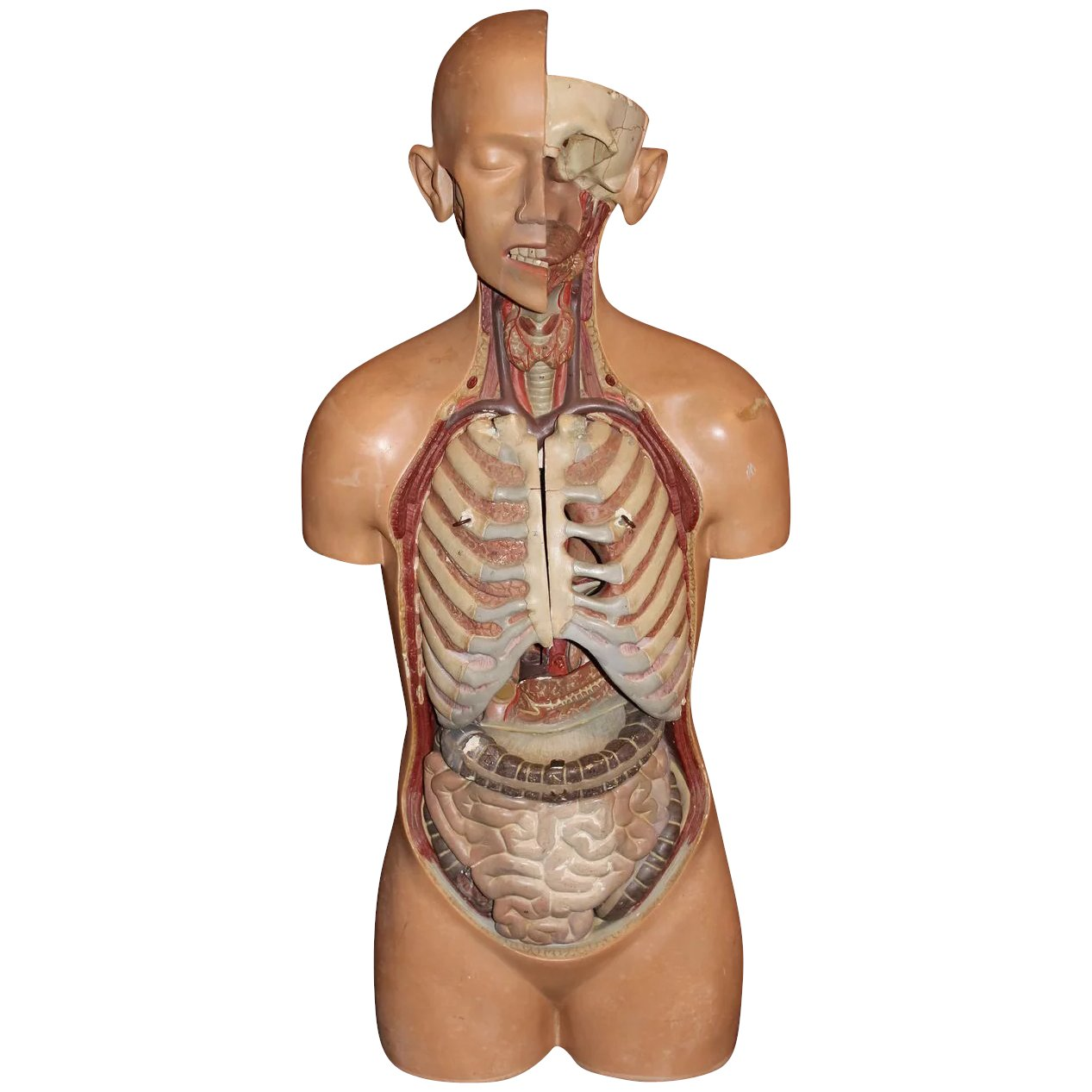 Anatomical Model of a Torso in Plaster - Red Tag Sale Item SOLD ...