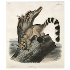 John Woodhouse Audubon Print from 1st Folio Edition, Ring Tailed Bassaris, 1846