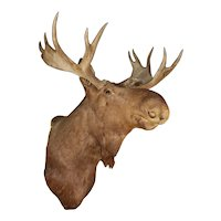 Early 20th c Maine Moose Taxidermy Shoulder Mount by Fred C.N. Parke, Bangor