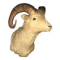 Early 20th c Northwestern North American Dall Sheep Taxidermy Shoulder Mount