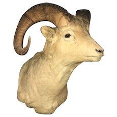 Early 20th c Northwestern North American Dall Sheep Taxidermy Shoulder Mount
