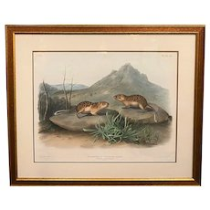 John James Audubon Hand Colored Lithograph, California Marmot Squirrel 1847