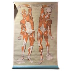 Vintage American Frohse Anatomical Muscular System Chart FA 2 by AJ Nystrom & Co