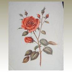 Roses - Trio of Vintage Rose Prints