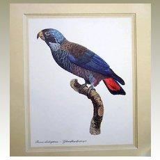 Pionus Chalcooopterus Botanical Bird Print