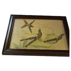 Hummingbirds Lithograph Framed in Mahogany Wood