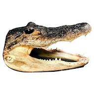 Vintage Real Alligator Taxidermy Head from 5-Ft. Gator