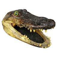 Vintage 10-Inch Alligator Head From 6-Foot Florida Gator Taxidermy Skull