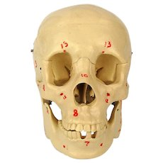 Vintage Life Size Model Resin Human Skull Art Medical w/ Brain