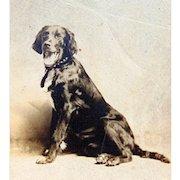 Irish Sitter Award Winner from Jackson,Michigan Cabinet Photo c.1918