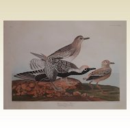 R.  Havell  Engraving,  J.J. Audubon ,  Black Bellied Plover