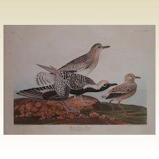 R.  Havell  Engraving,  J.J. Audubon ,  Black Bellied Plover