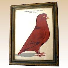 "Large Framed Print ""American Carneau Association"" 1949"