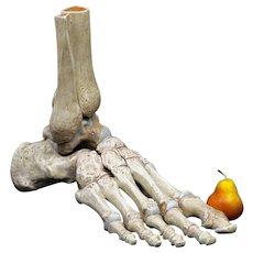 Huge Plaster Medical Anatomical Model of the Bones of the Foot - Folk Art - Skeleton - Hand Painted
