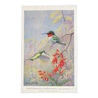 Allen Brooks Ruby-Throated Hummingbird Postcard National Audubon Society Unused Male and Female