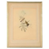English Print Avocettinus Eurypterus by Gould