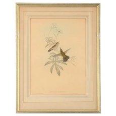English Print Avocettinus Eurypterus by Gould