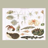 Evolution. Decorative Chromo Lithograph from 1900