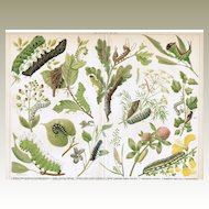 Decorative Chromo Lithograph: Caterpillars. 1900