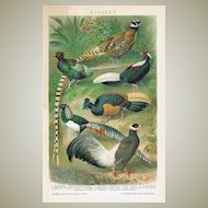 Pheasants: Very decorative Chromo Lithograph from 1898
