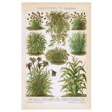 Grass-leaf Starwort. Antique Chromo Lithograph 1898