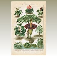Araceae : Old Chromo Lithograph from 1901
