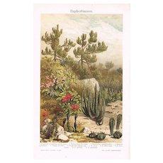 Desert Plant Chromo Lithograph from 1902