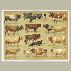 1900: Cattle: Very decorative Chromo Lithograph