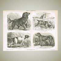 Hunting Dogs. Antique Lithograph from 1902