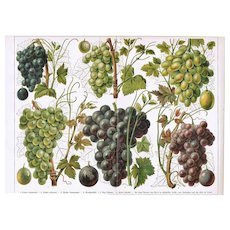 Grapes, Old Chromolithograph from 1900 - Red Tag Sale Item
