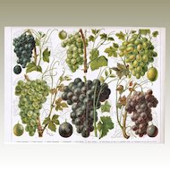 Grapes, Old Chromolithograph from 1900