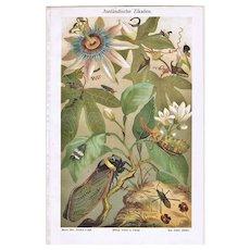 Foreign Cicadas: Very decorative Chromo Lithograph from 1898