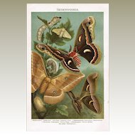 Evolution of the Silk Worms. Antique Chromo lithograph from 1898